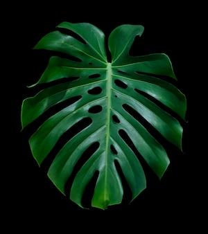 Hoja tropical deliciosa de monstera aislada en fondo negro con el camino de recortes