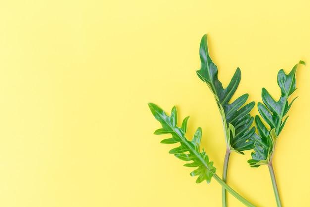 Hoja tropical de philodendron laicos plana sobre fondo amarillo