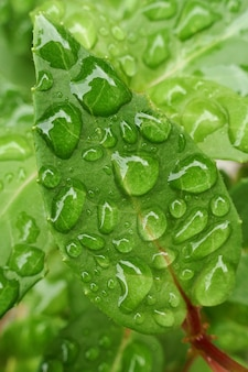 Hoja verde con gotas de primer plano de agua. planta verde en gotas de fondo.