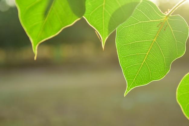 Hoja verde hermosa de bo en fondo de la naturaleza con la luz del sol, concepto de meditación.