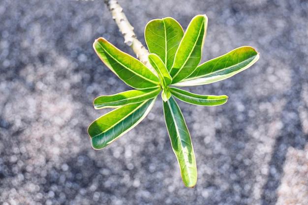 La hoja verde joven del desierto subió, lirio de impala con el fondo borroso