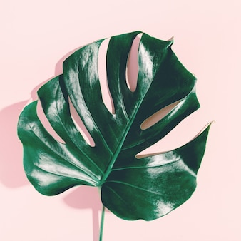 Hoja verde monstera en rosa
