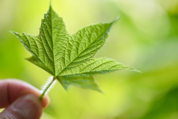 Hoja verde de la naturaleza hermosa en la mano con el foco suave de la luz del sol y el fondo verde de la falta de definición
