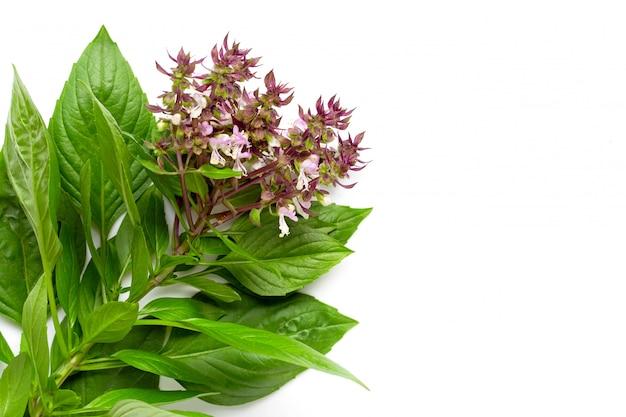 Hojas de albahaca dulce con flor en blanco