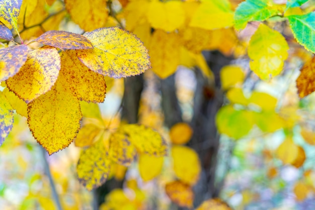 Hojas amarillas de un árbol.