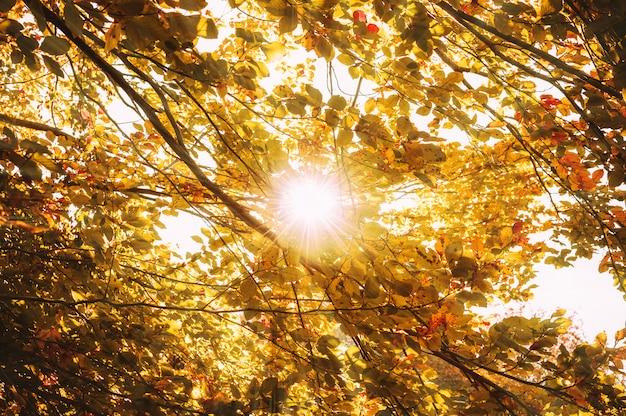 Hojas amarillas frescas en el bosque enmarcando el sol en el medio y formando rayos de luz.