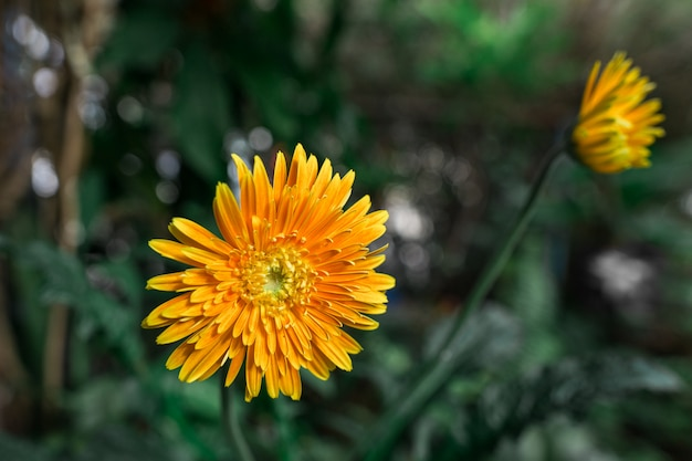Hojas amarillas en gerbera daisy