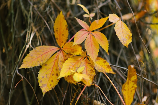 Hojas amarillas de primer plano de uvas silvestres, fondo de otoño