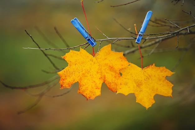 Las hojas amarillas sujetaron pinzas para la ropa en el parque. fondo de otoño