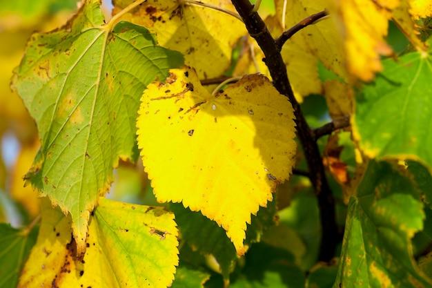 Hojas amarillentas en los árboles - hojas amarillentas en los árboles que crecen en el parque de la ciudad, temporada de otoño, un pequeño dof,