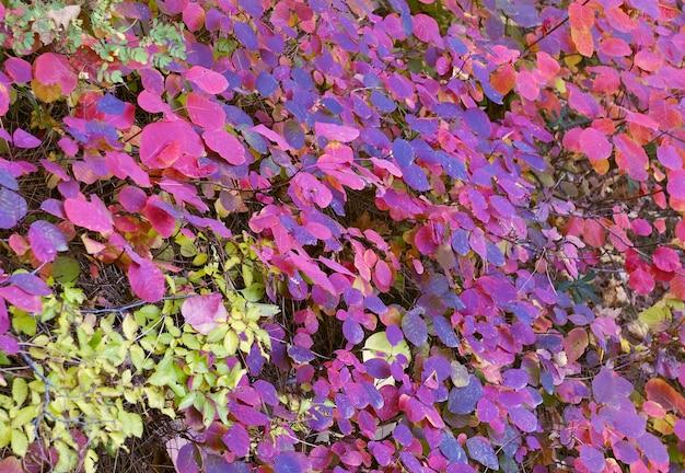 Hojas de arbusto de color púrpura y rojo brillante por todo el marco. rusia, 2019