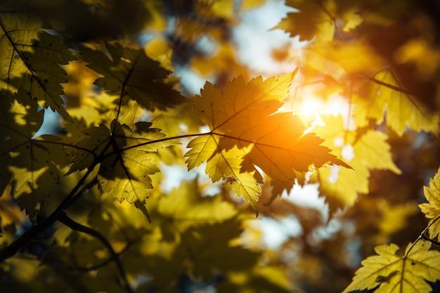 Las hojas de arce amarillentas brillan en el sol contra el cielo azul en un claro y cálido día de otoño. primer plano, fotografía de contraste de ramas de arce.