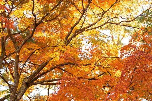 Las hojas de arce cambian de color. de verde a amarillo hasta que llega a rojo en el parque.