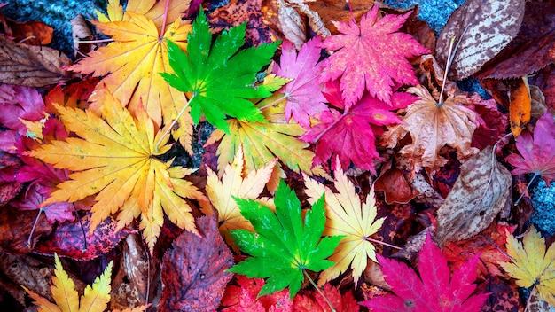 Hojas de arce coloridas en otoño