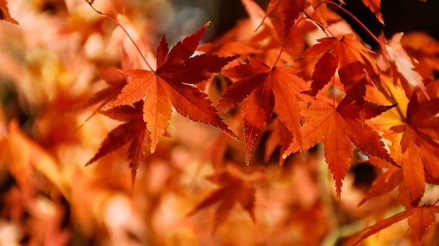 Hojas de arce japonés otoño sobre fondo negro.