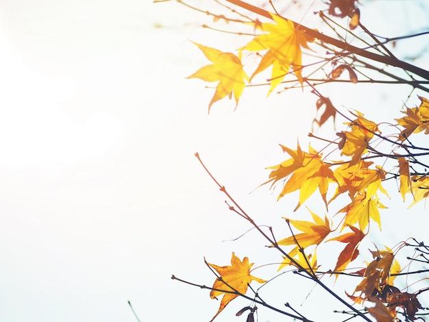 Hojas de arce en japonés a principios de la temporada de otoño al atardecer.