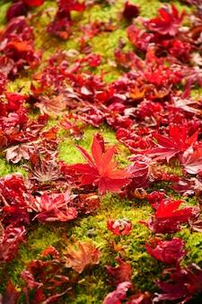 Hojas de arce japonés rojo sobre piso de musgo verde fresco.