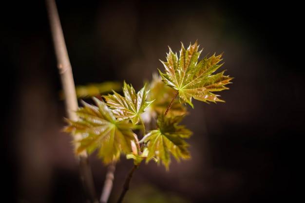 Hojas de arce joven en una rama a principios de primavera.
