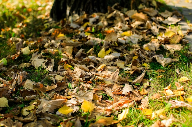 Hojas de arce multicolores se encuentran en la hierba.