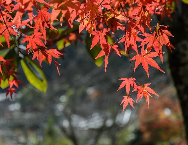 Hojas de arce rojo color otoño