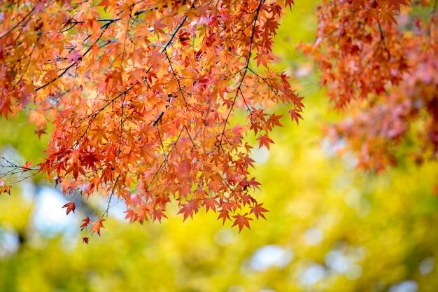 Hojas de arce rojo con fondo borroso. temporada de otoño de japón