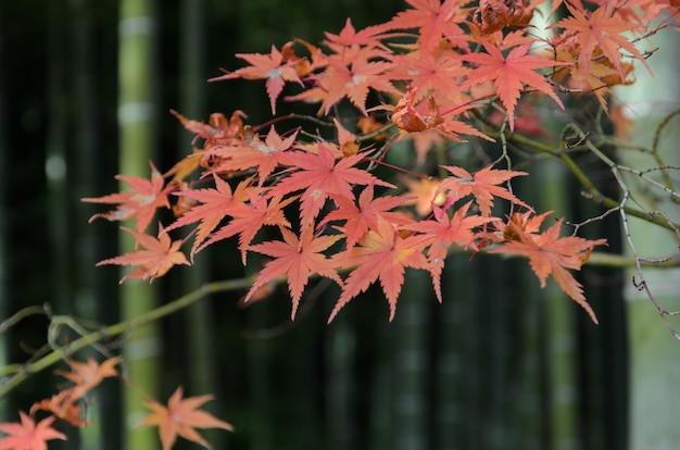 Hojas de arce rojo otoño con fondo de árbol de bambú