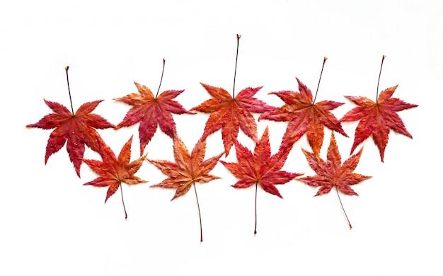 Hojas de arce rojo otoño con gotas de agua aisladas sobre fondo blanco.