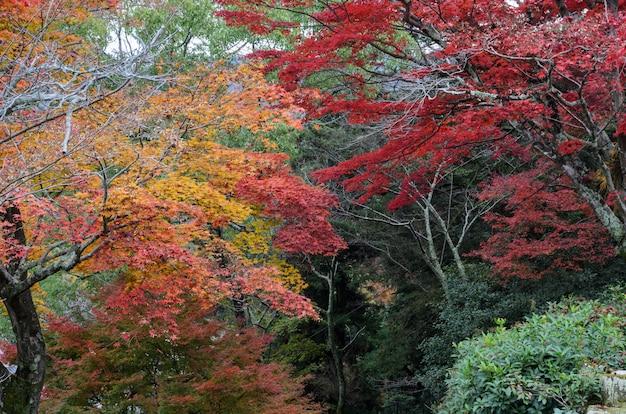 Hojas de arce valley park en miyajima, japón