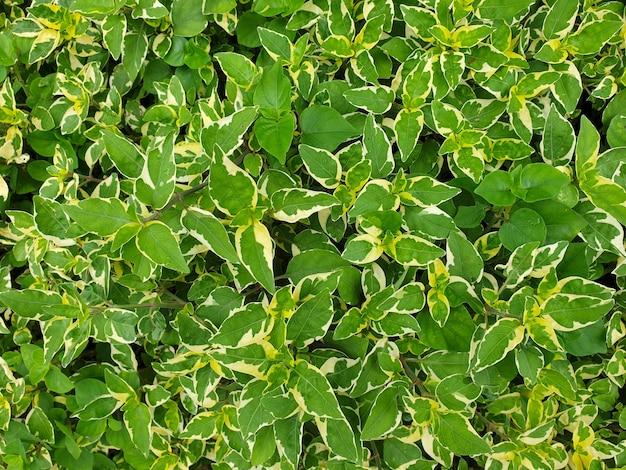 Hojas de asystasia gangetica fondo violeta chino coromandel o dedalera rastrera