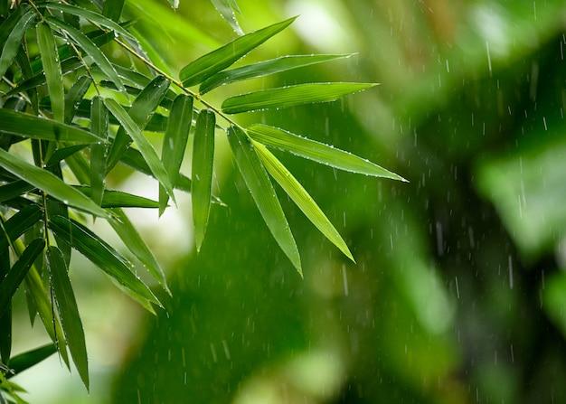 Hojas de bambú verde con lluvia