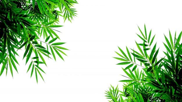 Hojas de bambú verdes aisladas sobre fondo blanco