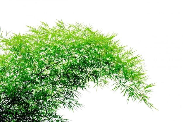 Hojas de bambú verdes aisladas sobre fondo blanco.