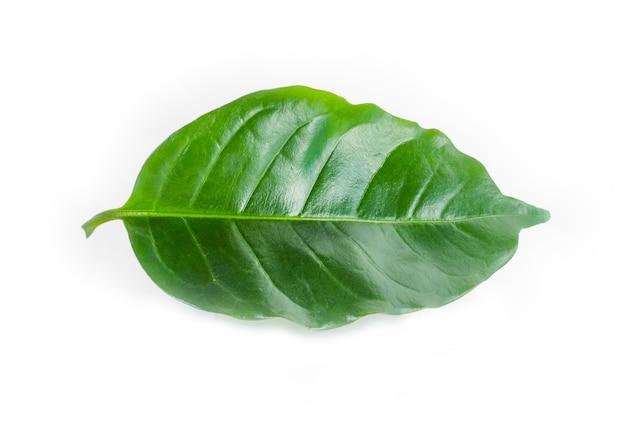 Hojas de café verde fresco aislado en blanco
