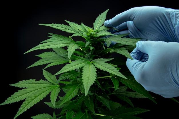 Hojas de cannabis de una planta