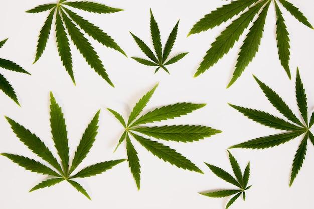 Hojas de cannabis verde