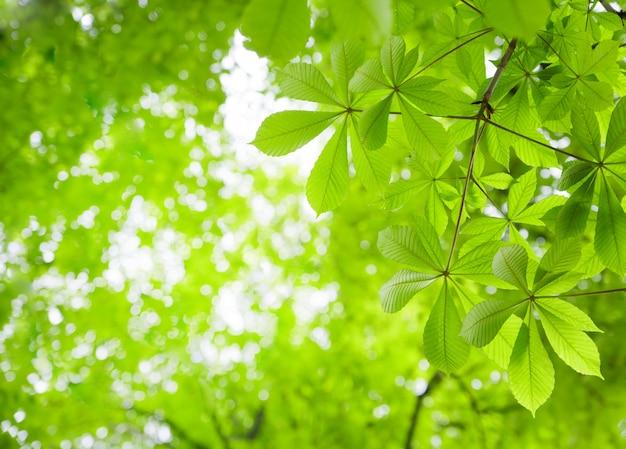 Hojas de castaño verde