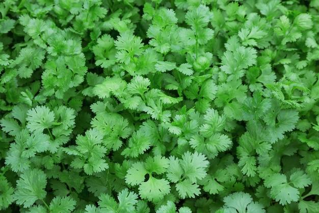 Hojas de cilantro para la alimentación.