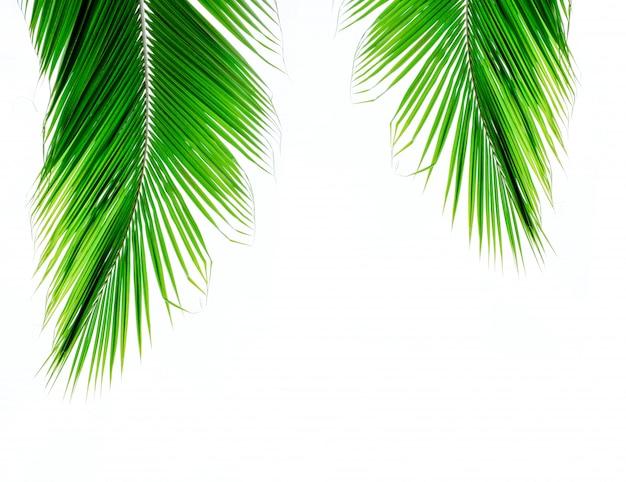 Hojas de coco de palma sobre fondo blanco