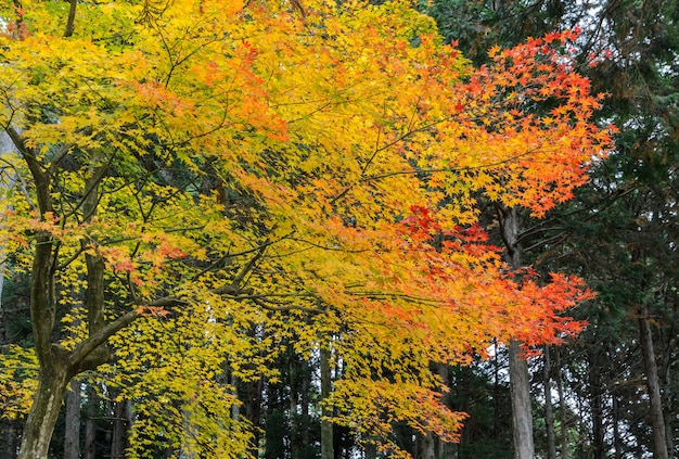 Hojas de color otoñal del árbol de arce en japón