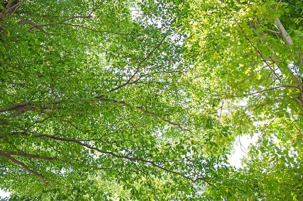 Hojas de color verde claro que ocurren naturalmente en la mañana. dos luces desde lo alto del cielo.