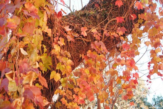 Hojas de arce rojo de un árbol. de cerca.
