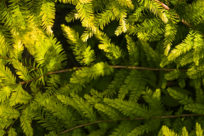 Hojas en forma de aguja de color verde fresco