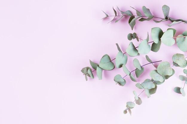 Hojas de eucalipto verde aisladas en rosa