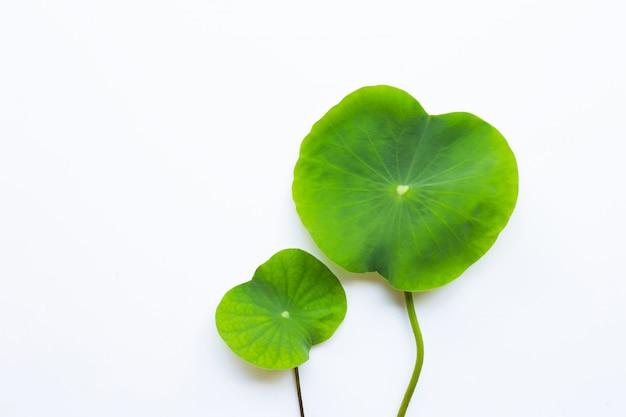 Hojas de la flor de loto en blanco.