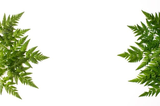 Hojas de helecho verde aislado en blanco