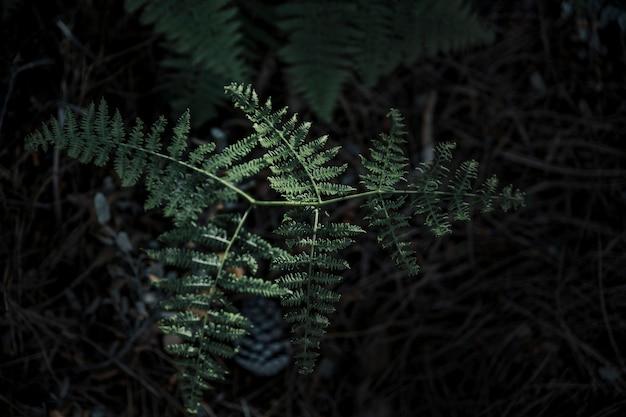 Hojas de helecho verde fresco