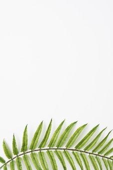 Hojas de helecho verde en la parte inferior del fondo blanco