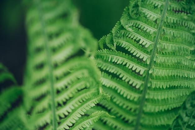 Hojas de helechos verdes. follaje natural concepto de naturaleza.