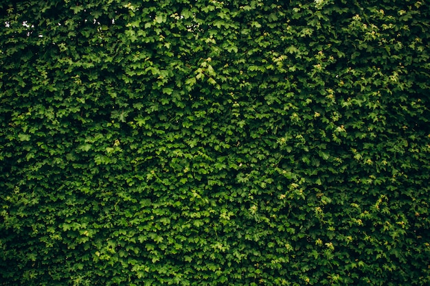 Hojas de hiedra verde cubrían la pared. fondo de la cerca de madera natural para las ilustraciones del diseño. publicidad, postal.