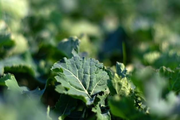 Hojas jóvenes de colza en el período de principios de primavera.
